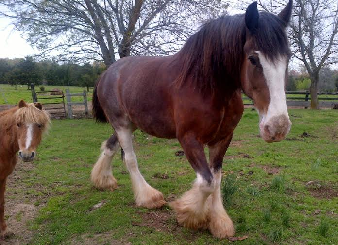 Luke – Clydesdale